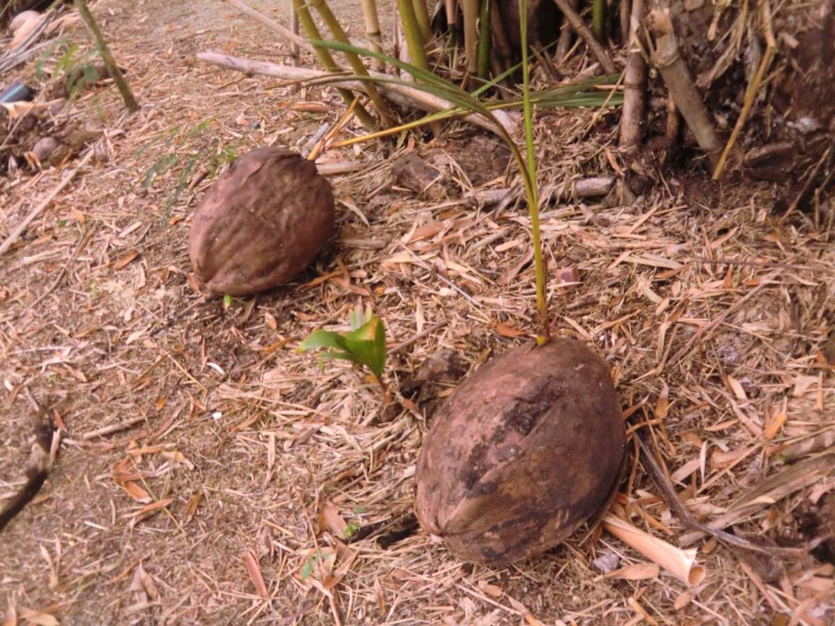 Как-растут-кокосы
