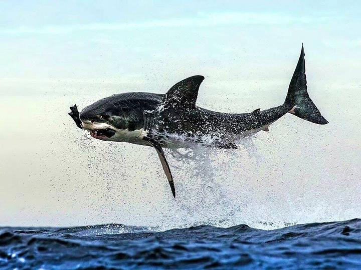denizlerin tehlikesi beyaz köpekbalığı fotoğrafı