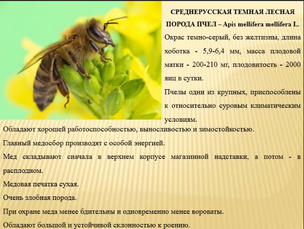 Доклад о жизни пчел 3099