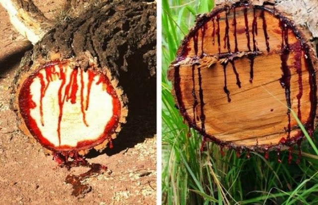 दुनिया में एक ऐसा पेड़ जिसे काटने पर निकलता है खून!