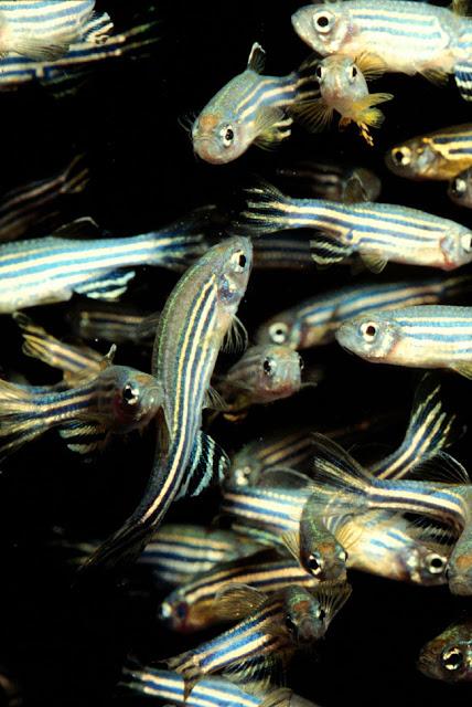 Estudo inédito com 'peixe paulistinha', aponta contaminação em água usada para abastecer a população de Campina Grande