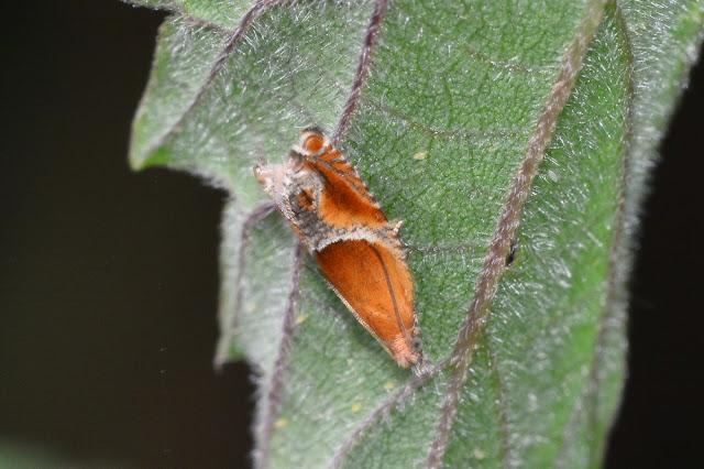 Ancylis obtusana