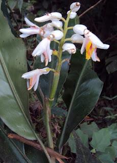 Manfaat dan Khasiat Tanaman Lengkuas Hutan  Manfaat dan Khasiat Tanaman Lengkuas Hutan (Alpinia Malaccensis (Burm. F.) Roxb.)