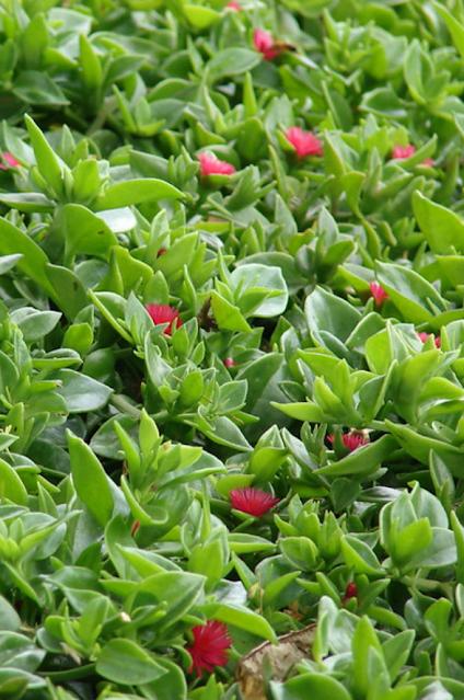 Mesembryanthemum cordifolium  «Rocío, escarcha»