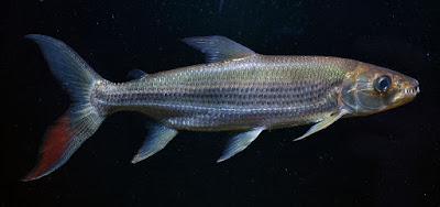 Bentuk Fisik Goliath Tigerfish Si Harimau Dari Sungai Afrika