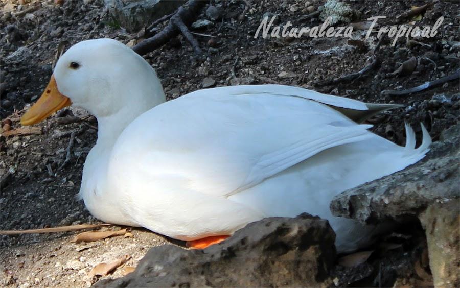 El Pato doméstico, Anas platyrhynchos domesticus