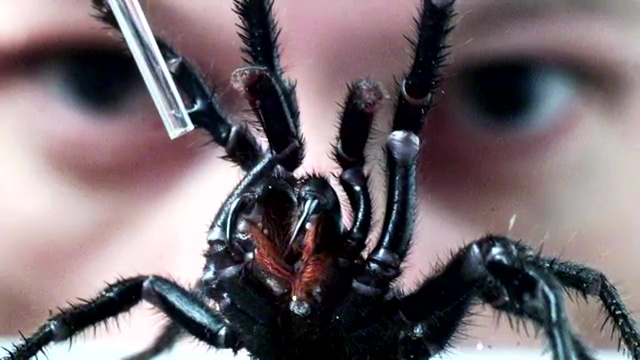 Funnel-Web Spider, most venomous animal, most poisonous animal, top ten venomous animal,  top ten poisonous animal