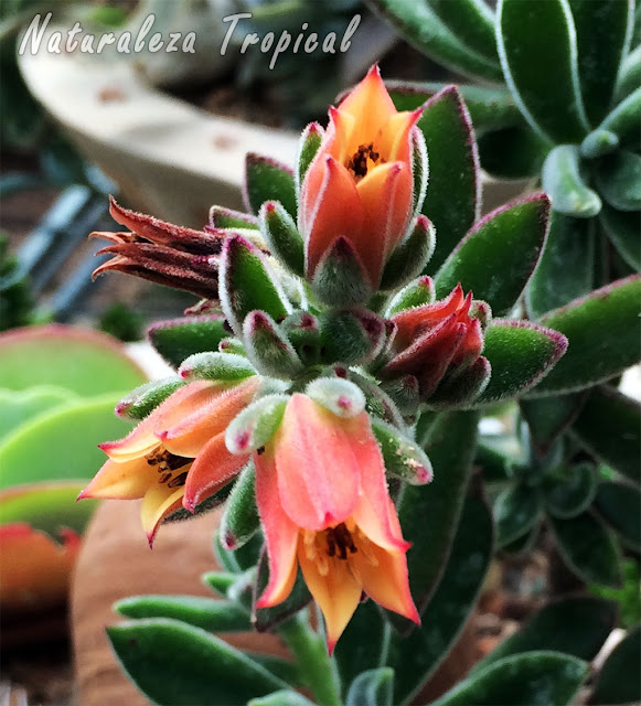 Flores de la planta suculenta Echeveria pulvinata