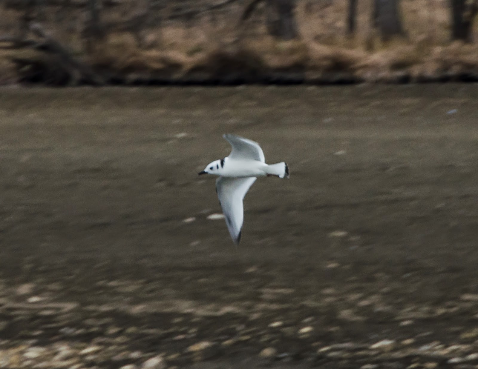 Black-Legged Kittiwake Flying