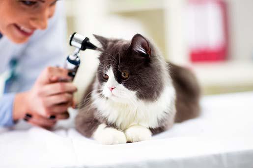 Jak często trzeba chodzić z kotem do weterynarza?