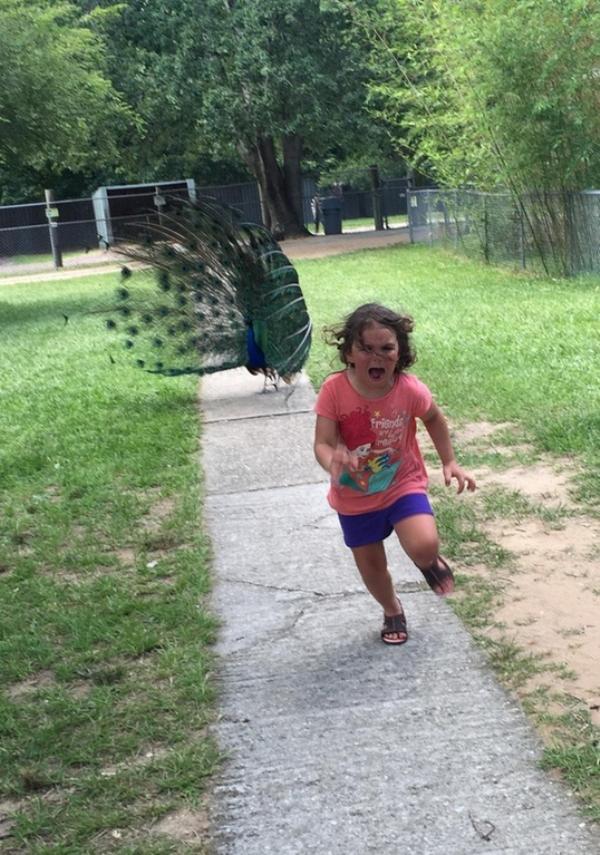 fugindo do pavão
