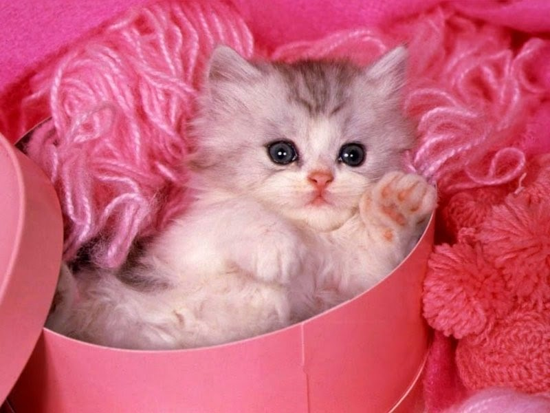 Cute Cat Wallpapers Trawel India Mails