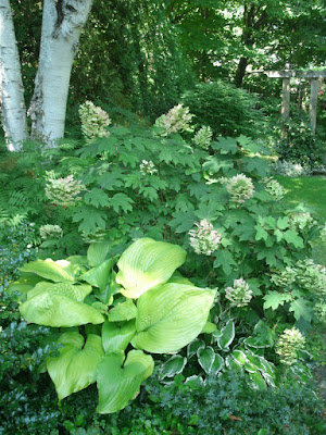 oakleaf hydrangea sum and substance hosta against white paper birch by garden muses: a toronto gardening blog