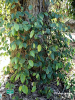 Black pepper tree, Foster Botanical Garden - Honolulu, HI