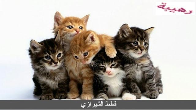 قطط الشيرازي
