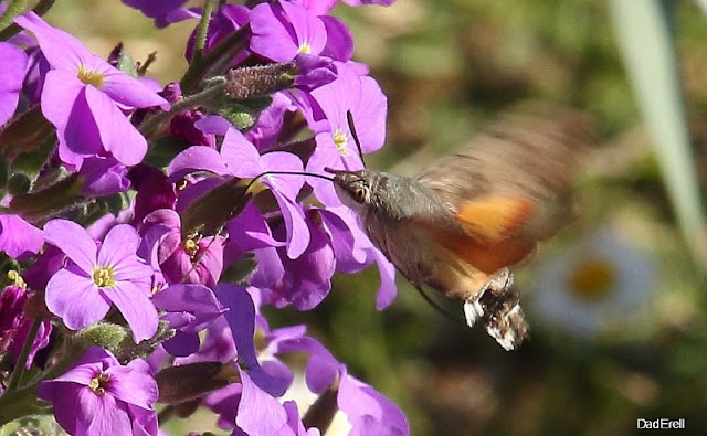Sphinx-colibri butinant une aubriette