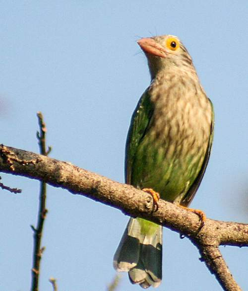 Indian birds - Picture of Lineated barbet - Psilopogon lineatus