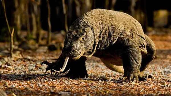 Komodo di habitat alaminya