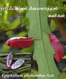 Epiphyllum phyllanthus fruit