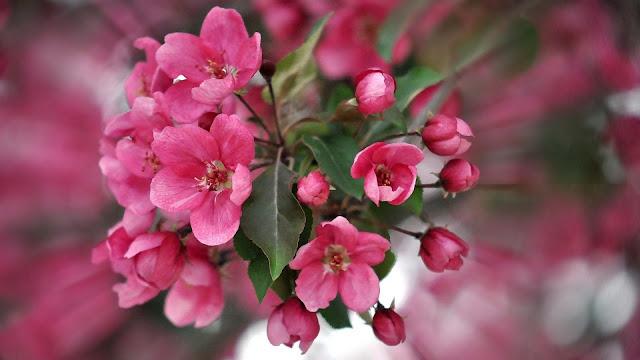 color pink petals plant HD flowers Wallpaper