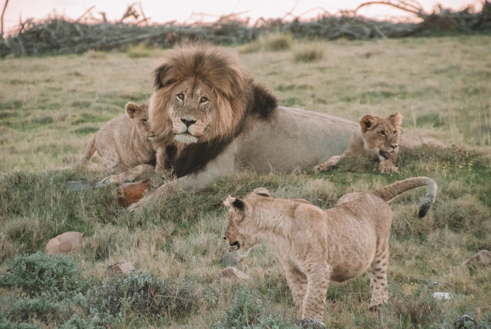 100+ Lion's HD Pictures - World Fastest 5th Land Animals