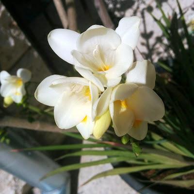 פרזיה בפריחה לבנה