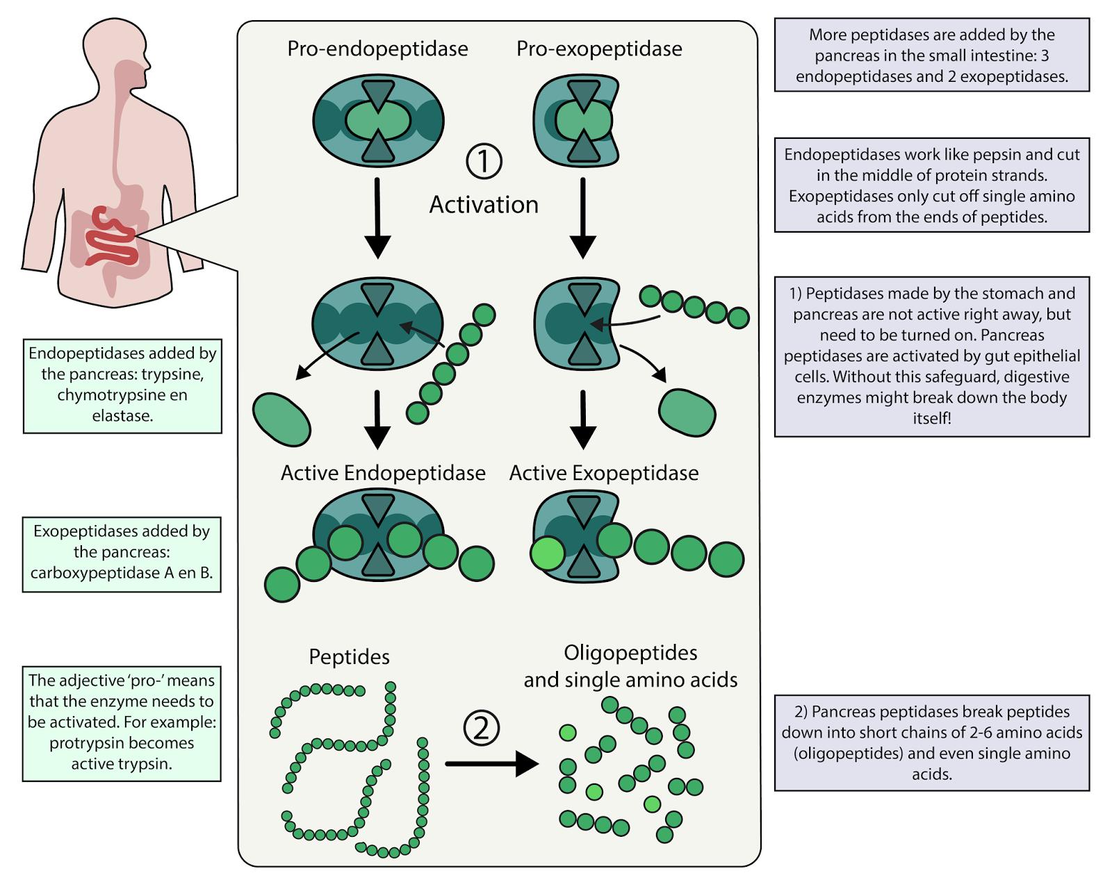 medium resolution of bb006 protein digestion basics biomed visuals
