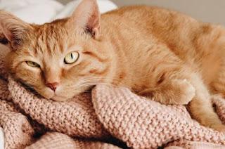 Cara Membersihkan Lubang Telinga Kucing Sendiri Di Rumah
