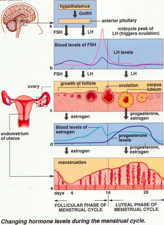 The Ovarian and Menstrual Cycle | SBI4U 2013 Resource Guide