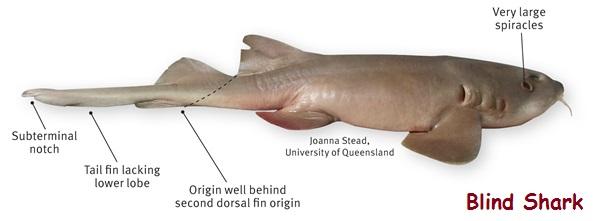 identifikasi tubuh blind shark