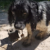 Male Ties 13lb Support To Dog's Neck, Throws Him In River. Somehow, The Brave Dog Survives