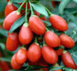 Goji Berry atau biasa disebut dengan Super Fruit adalah buah yang Paling Kaya akan Nutrisi, berasal dari Tibet, di dataran tinggi Gunung Himalaya, kaya akan Vitamin, Mineral, Protein, dan Antioksidan. Goji Berry mengandung zat besi lebih banyak daripada bayam, Beta Karoten lebih banyak daripada Wortel, dan tingkat kandungan Proteinnya pun lebih banyak daripada Gandum