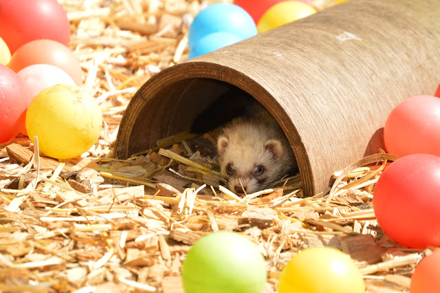 Image taken at Tattershall Farm Park of a ferret hiding inside a tunnel and peeking it's head out. The cage has lots of brightly colouored balls inside for the animals to play with.