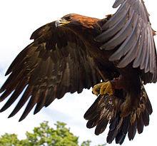 Burung Golden Eagle