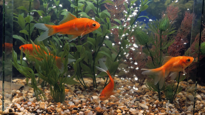 how long do goldfish live in a tank