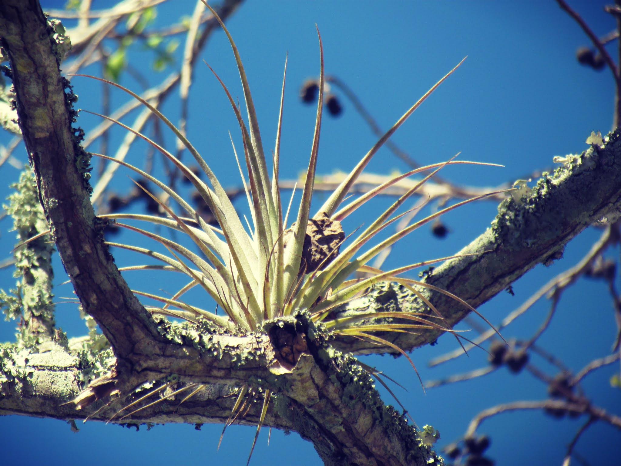 Florida native air plants, tillandsia plant family, air plant species, plant magic, green magic healing, plant energy healing