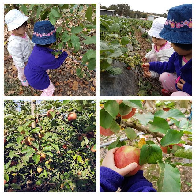 【墨尔本景点】墨尔本亲子游@Day2 秋末在 Naturipe Fruits 果园採苹果和草莓