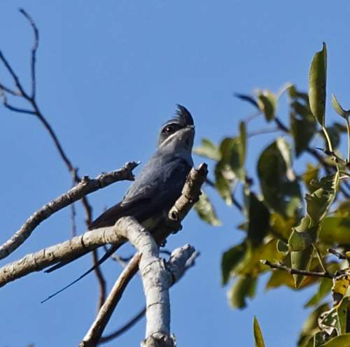 Birds of India - Crested treeswift - Hemiprocne coronata