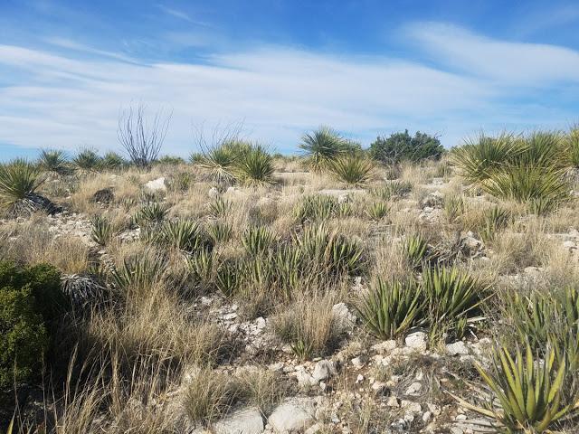 Agavi nei Deserti Messicani