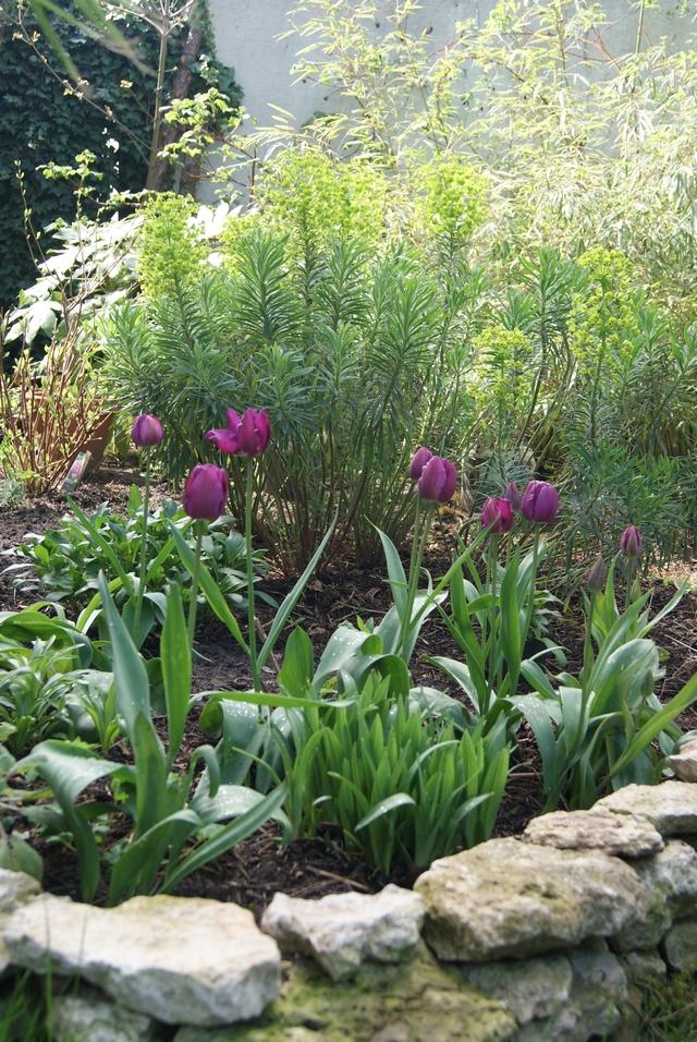 Triumph-Tulpe Negrita im dritten Jahr nach Pflanzung