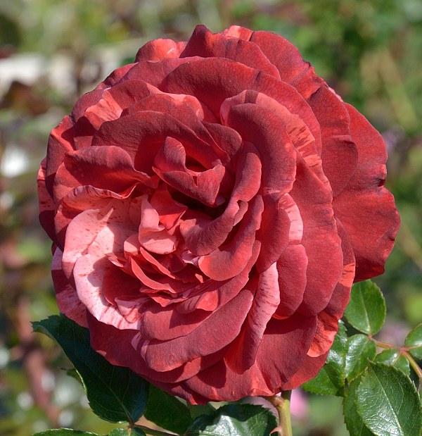Brownie сорт розы фото