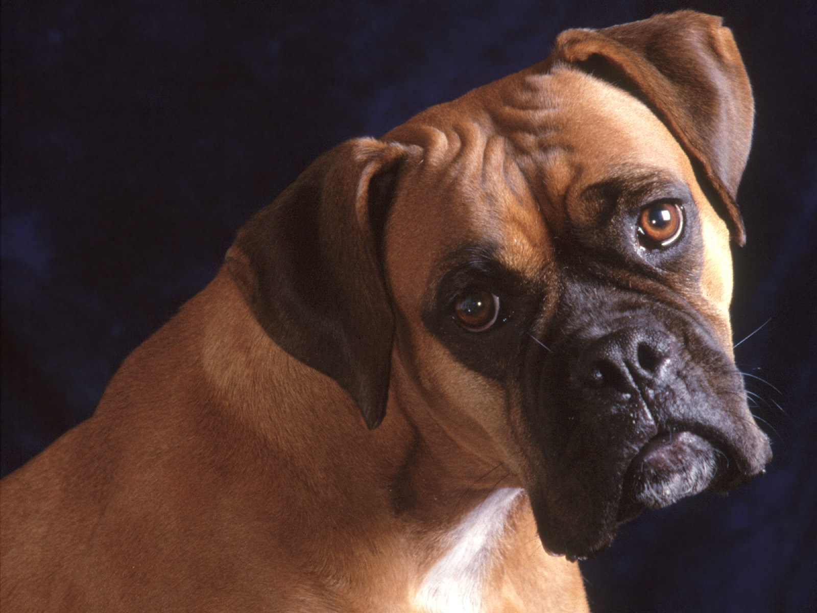 The dog in world: Bullmastiff dogs
