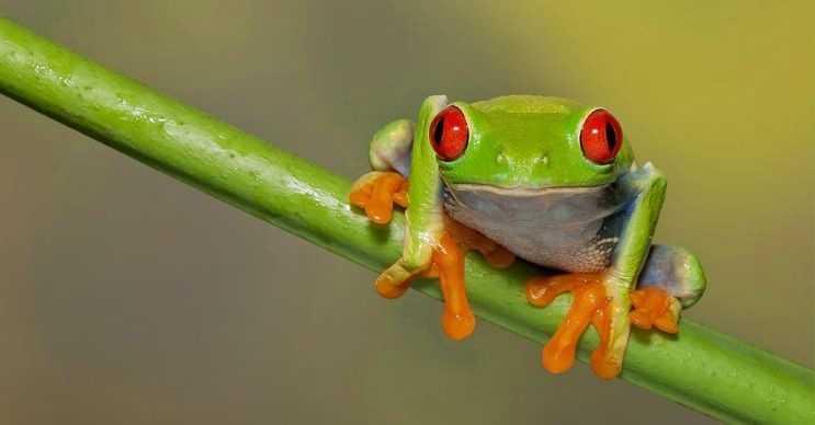 Kırmızı gözlü ağaç kurbağası büyüdükçe renk değiştirir, yavruyken daha açık tonlarda olur.