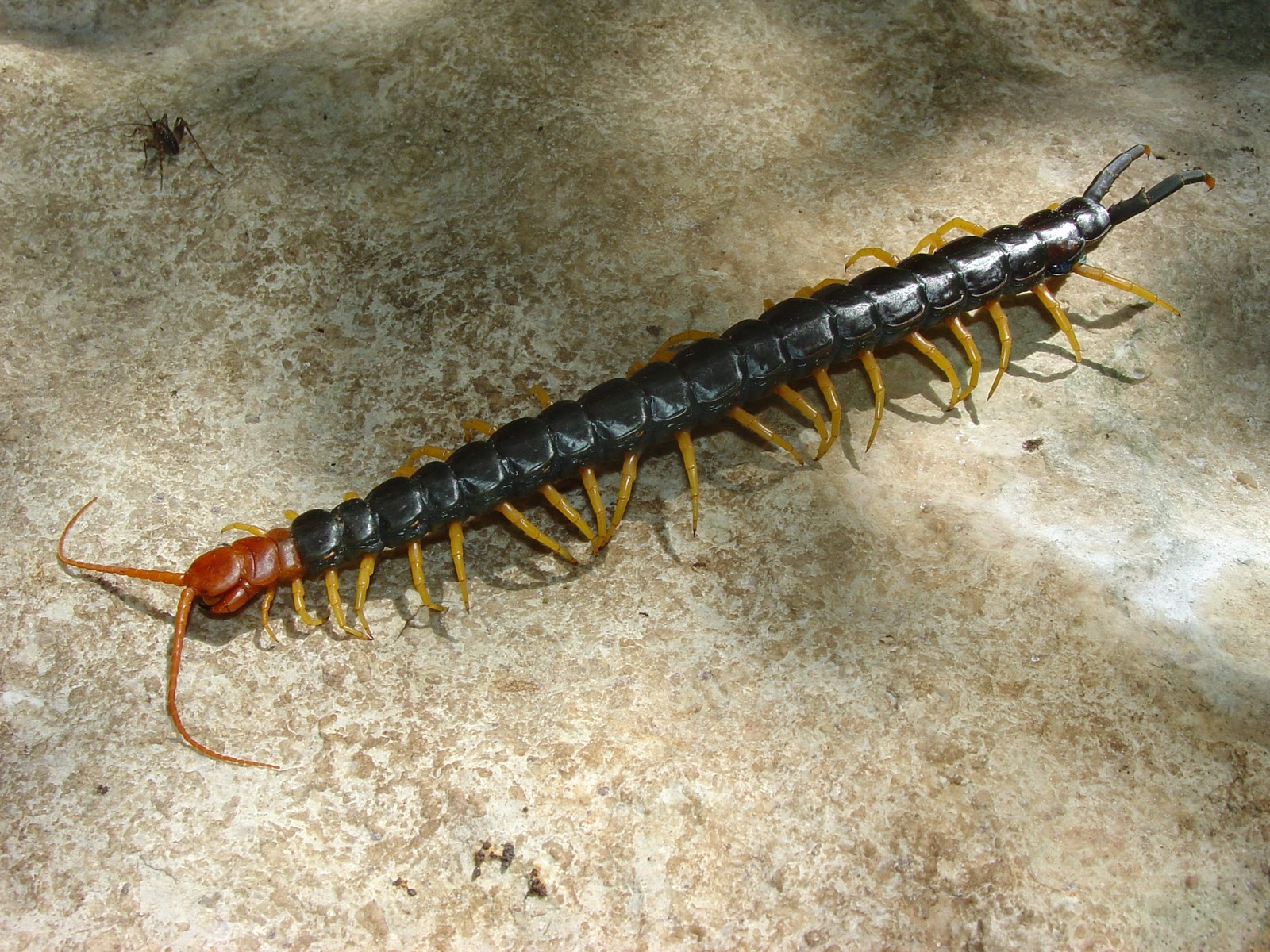 mobugs giant red headed centipede. Black Bedroom Furniture Sets. Home Design Ideas