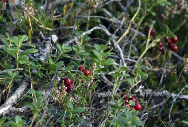 Lagmannskollen tyttebær