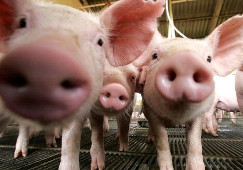 Tinuku Researchers used CRISPR-Cas9 to create low-fat pork