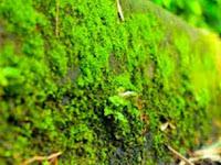 Yuk Kita Pelajarai Apakah Tumbuhan Lumut Itu dan Bagaimana Pergiliran Keturunan Lumut (Bryophyta)
