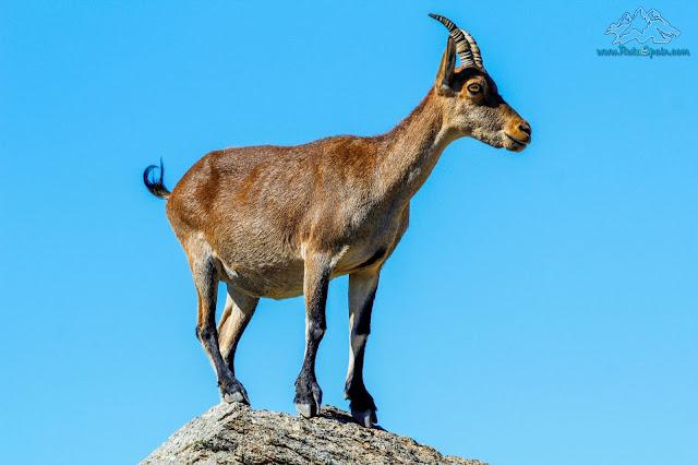 Cabra encima de la piedra en Gredos