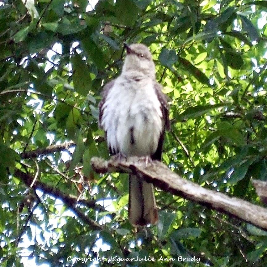 Adult Mockingbird Protective Behavior 21
