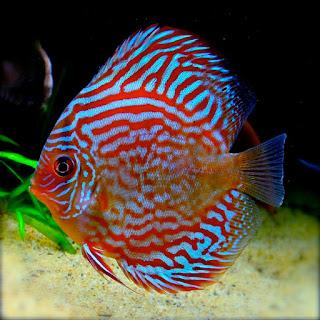 Jenis dan Harga Ikan Discus Red Turquoise